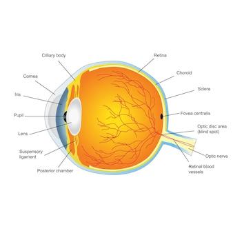 Анатомическое строение человеческого глаза. векторная иллюстрация