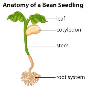 Anatomy of bean seedling on chart