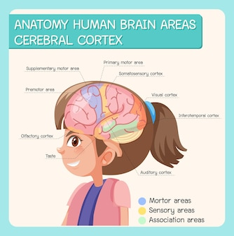 Анатомия человеческого мозга областей коры головного мозга с этикеткой