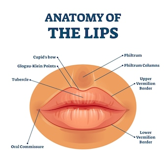Anatomy of lips with detailed labeled parts description . educational facial mouth structure scheme with physiological terms explanation. closeup example diagram for medicine study.