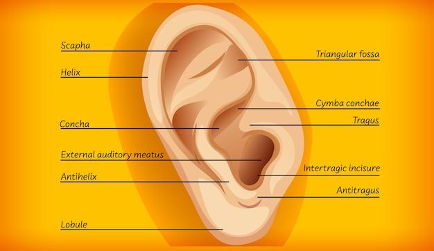 外耳の解剖学