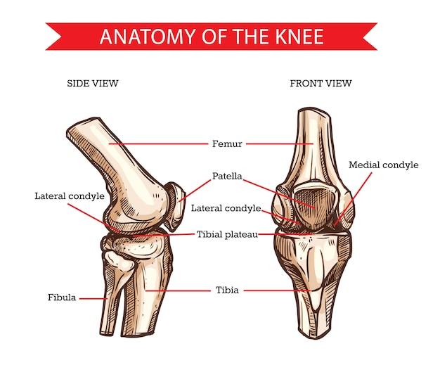 다리 뼈와 관절, 의학의 인간 무릎 스케치의 해부학. 무릎 뼈, 손으로 그린 대퇴골, 슬개골, 경골 및 비골, 경골 고원 및 측면 과두의 측면 및 전면보기