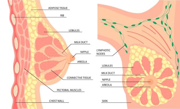 Анатомия женской груди сбоку и спереди. вектор в мультяшном простом стиле