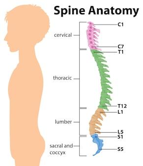 척추 또는 척추 곡선의 해부학 infographic