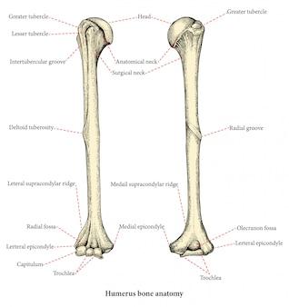 Анатомия верхней части руки человека кости руки рисунок в винтажном стиле, человеческая плечевая кость
