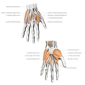 Anatomy of the palm bone muscle