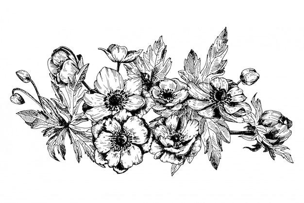 Анемона цветочная, ботанические цветы.
