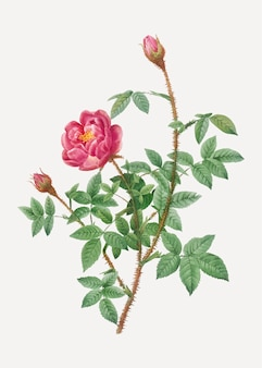 Anemone flowered rose