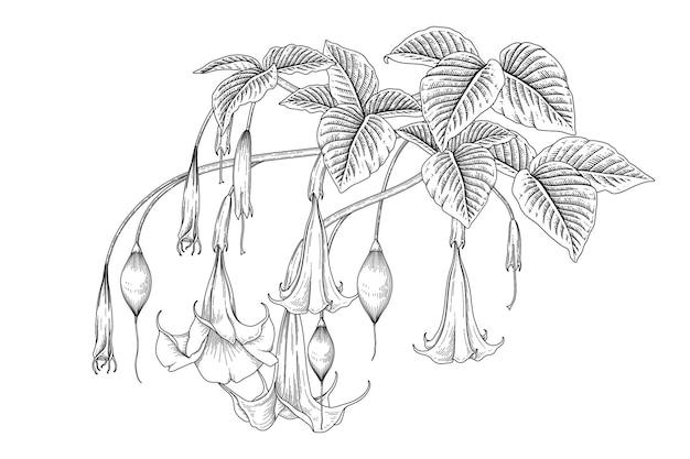 Illustrazioni botaniche disegnate a mano del fiore della tromba dell'angelo (brugmansia).