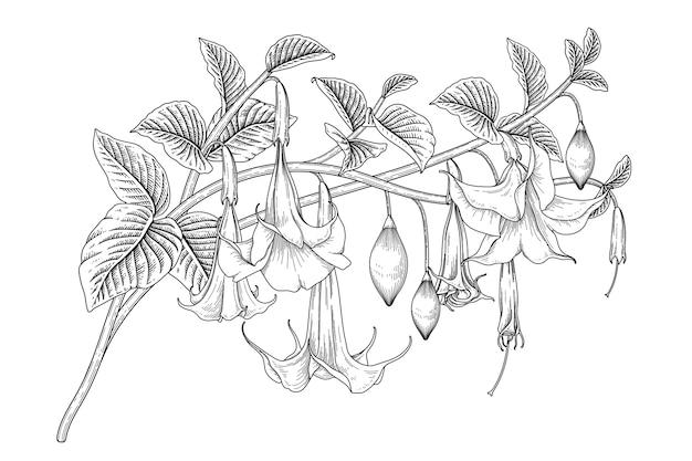 白で隔離される天使のトランペットの花