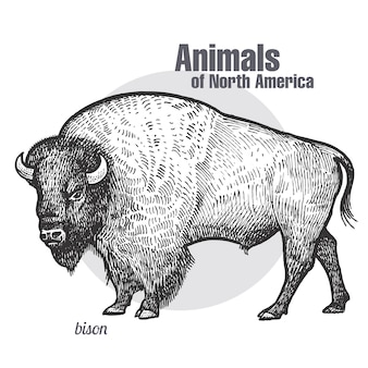 Animal of north america bison.