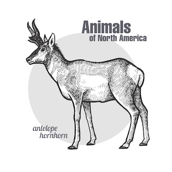 Animal of north america pronghorn antelope.