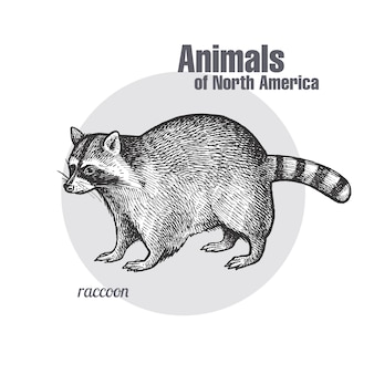 Animal of north america raccoon.