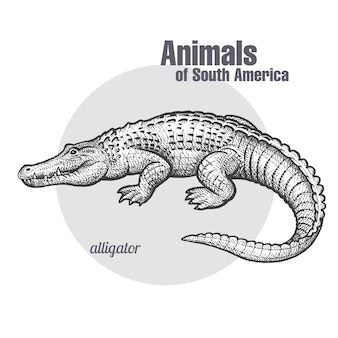 Animal of south america caiman.