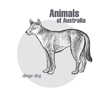 Animals of australia. dingo dog.