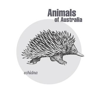Animals of australia. echidna.