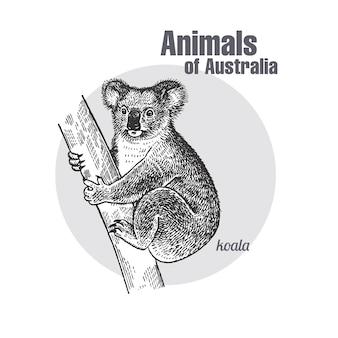 Animals of australia. koala bear.