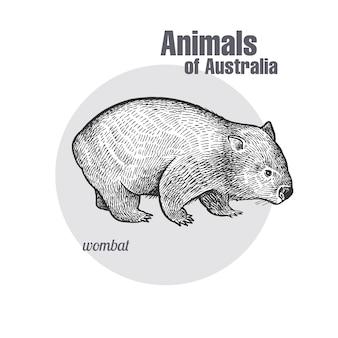 Animals of australia. wombat.