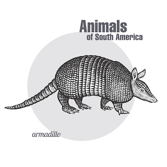 Animals of south america armadillo.