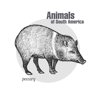 Animals of south america peccary.