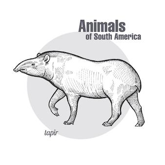 Animals of south america tapir.