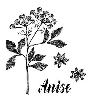 Эскиз растения аниса