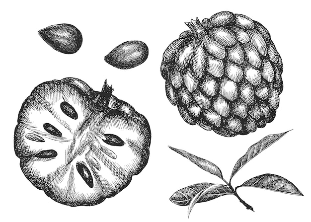 バンレイシ。手描き野菜。スケッチ。
