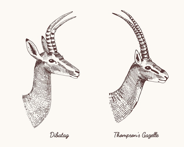 Antelopes dibatag and thompsons gazelle  hand drawn illustration, engraved wild animals with antlers or horns vintage looking heads side view