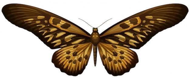 巨大なアフリカアゲハ-アゲハantimachus