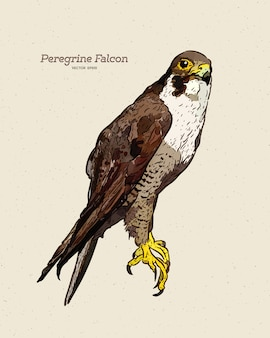 Antique engraving drawing illustration of peregrine falcon