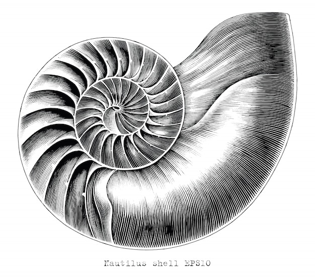 Antique engraving illustration of nautilus shell hand draw black and white clip art isolated