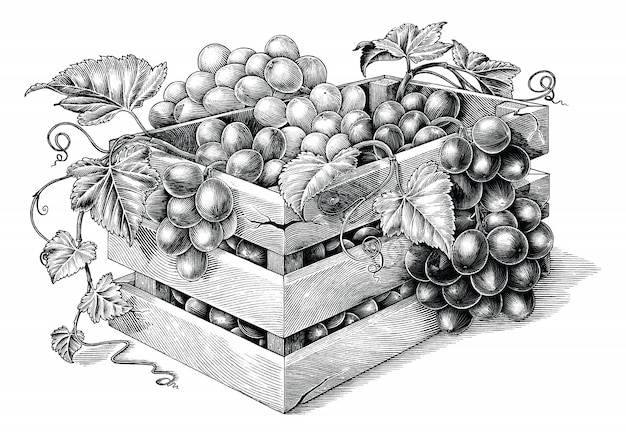 Antique engraving illustration of organic grapes in the basket black and white clip art isolated, organic grapes branding inspiration