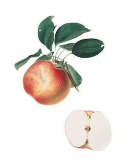 Apple from pomona italiana illustration