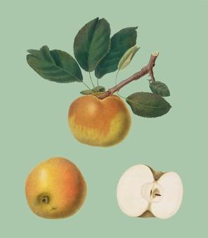 Apple from pomona italiana illustration