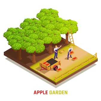 Apple garden harvesting isometric composition with farm workers picking fruits placing full boxes in trailer