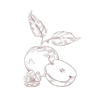 잎이 있는 사과 반쪽은 현실적인 손으로 그린 벡터 삽화입니다. 흰색 배경에 고립 된 클립 아트 안에 씨앗과 원시 과일. 유기농 및 에코 제품. 꽃 구성으로 익은 사과.