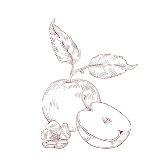 Apple half with leaves realistic hand drawn vector illustration. raw fruit with seeds inside isolated clipart on white background. organic and eco product. ripe apple with flower composition.