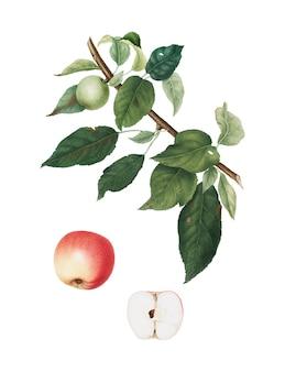 Apple из иллюстрации pomona italiana