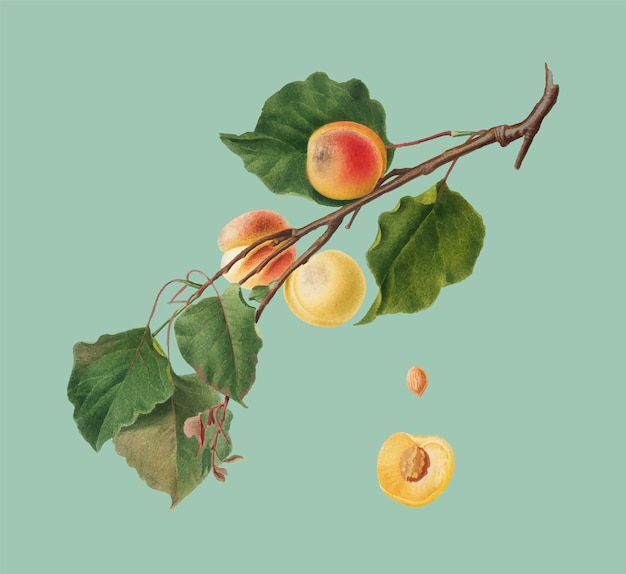 Apricot from pomona italiana illustration