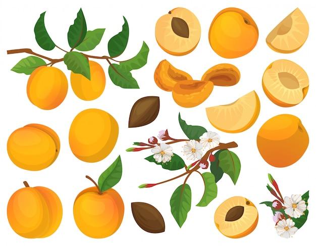 Абрикос из фруктов мультфильм установить значок. иллюстрация персик.