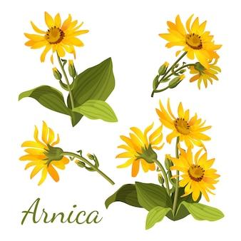 아르니카 꽃 조성. 잎, 새싹 및 가지와 꽃의 집합입니다.
