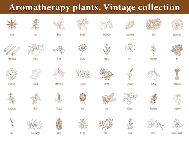 Aromatherapy plants. set of botanical elements isolated . vintage style.