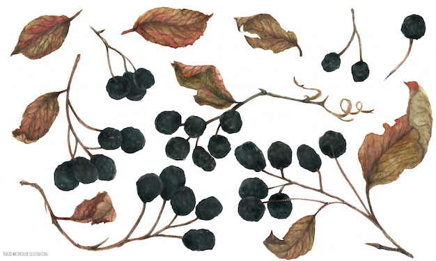 Aronia branches. dried berries and leaves