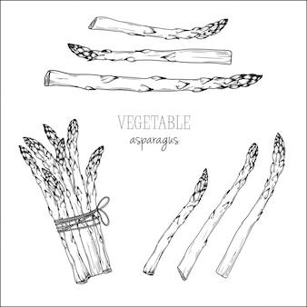 Asparagus isolated on white background. illustration