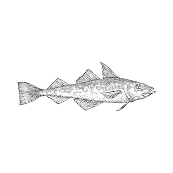 Atlantic pollock hand drawn doodle vector illustration. abstract fish sketch. engraving style drawing. isolated.