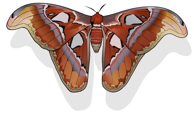 Атлас бабочка атлас атлас