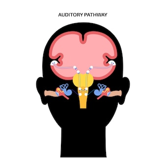 Auditory pathway from the receptors in the organ of corti of the inner ear to the brain vector