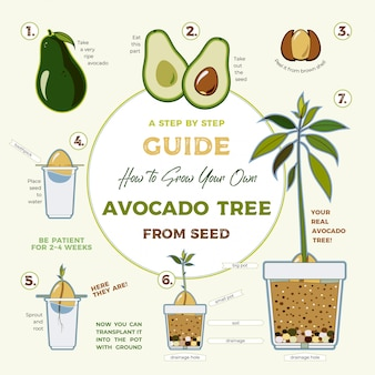 Avocado tree vector growing guide. green simple instruction to grow avocado tree from seed. avocado life cycle.