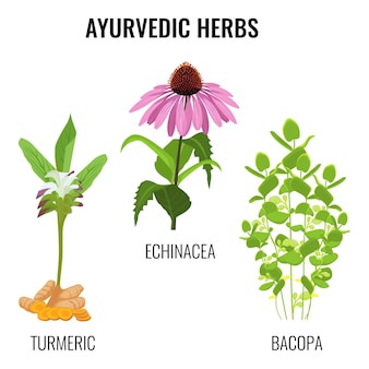 Ayurvedic herbs set isolated on white. turmeric with rhizomes, bacopa aquatic plant, echinacea herbaceous flower or purple coneflowers. realistic  illustration ayurveda herbs collection