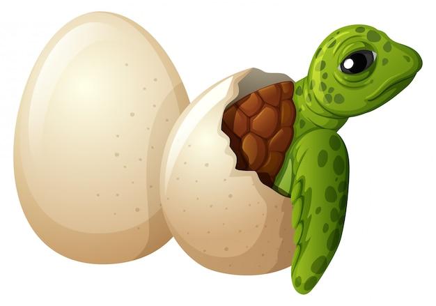 Baby turtle hatchling egg